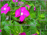 Tiled Vinca by Asrai, Photography->Flowers gallery