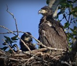 Juvenile Bald Eagle. by picardroe, photography->birds gallery