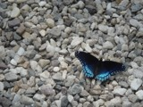 Blue #9 by ammorris, photography->butterflies gallery