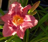 Dappled Lily by trixxie17, photography->flowers gallery