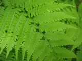 Fern by cc_Beowulf, photography->nature gallery
