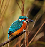 Male Kingfisher by biffobear, photography->birds gallery
