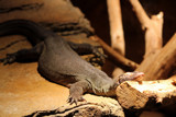 Anywhere is comfortable for a snooze by Pistos, photography->reptiles/amphibians gallery