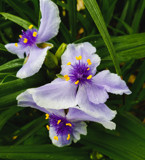 Spiderwort by Pistos, photography->flowers gallery