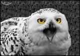 Snowy by Dunstickin, photography->birds gallery