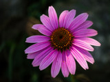 Purple Cone Flower by Pistos, photography->flowers gallery