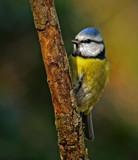 Eurasian blue tit by biffobear, photography->birds gallery