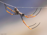Making Webs. by trisbert, Photography->Insects/Spiders gallery