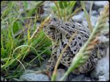 Feelin' Froggy ?? by Hottrockin, Photography->Animals gallery