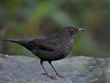 Blackbird by biffobear, photography->birds gallery