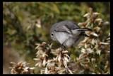 Gnatcatcher by garrettparkinson, photography->birds gallery