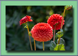 Dahlias and Buds by Ramad, photography->flowers gallery