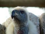 Hooded Vulture by jjmacky02, Photography->Birds gallery