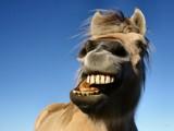 Happy Horse (II) by Paul_Gerritsen, Photography->Animals gallery