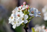 Pear Blossoms by Pistos, photography->flowers gallery