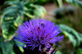 A Friday Foofy? - Thistle Do! by braces, photography->flowers gallery