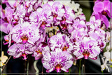 F² Orchids 6 by corngrowth, photography->flowers gallery