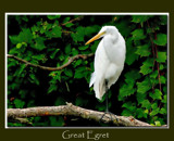 Great Egret by gerryp, photography->birds gallery