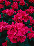 Crinkly Poinsettias by Pistos, photography->flowers gallery