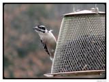 Little Rascals III - You Talkin' To Me by Hottrockin, Photography->Birds gallery