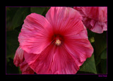 Hot Pink by tigger3, Photography->Macro gallery