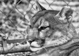 Cat Camp 2014_The Puma (B&W) by tigger3, contests->b/w challenge gallery