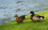 Isn't This Just Ducky by tigger3, photography->birds gallery