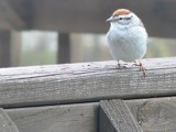 Perch on the Deck by SamGerdt, photography->birds gallery