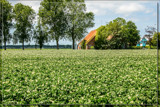 Flowering Potatoe Fields by corngrowth, photography->landscape gallery