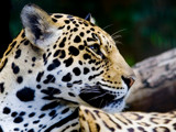 Panthera onca by kodo34, Photography->Animals gallery