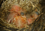 Nothing Says Spring Like Robins by jerseygurl, photography->birds gallery