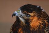 Harri by biffobear, Photography->Birds gallery