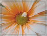 Orange Sherbert by ccmerino, photography->macro gallery