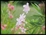 Arali/Oleander [Nerium Indicum] by Sree, Photography->Flowers gallery