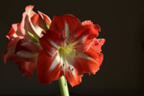 Amaryllis 2020 by jerseygurl, photography->flowers gallery
