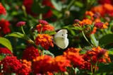 Butterfly in Zakynthos by joypie, photography->butterflies gallery