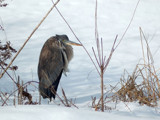 Great Blue Heron 1 by gerryp, Photography->Birds gallery