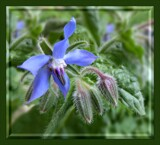 Borage by LynEve, photography->flowers gallery