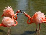 Fighting Flamingos by brady0323, Photography->Birds gallery