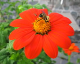 Mexican Sunflower by guyathomas, photography->flowers gallery