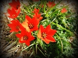 Orange Stars by Starglow, photography->flowers gallery