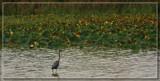East Harbor Heron by Jimbobedsel, photography->birds gallery
