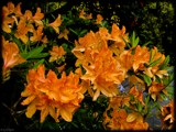 Orange Delight by LynEve, photography->flowers gallery