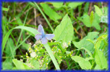 Blue Winged Wonder by kidder, Photography->Butterflies gallery