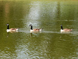 The Three Aflac Replacements by connodado, Photography->Birds gallery