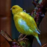 Old Yella by biffobear, photography->birds gallery