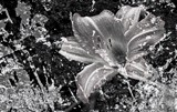 Snow Lily Monochromed by snapshooter87, photography->manipulation gallery