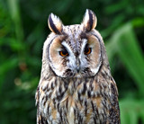 Great Horned by biffobear, Photography->Birds gallery