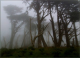 Cypresses in Fog by djholmes, Photography->Landscape gallery