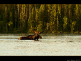 Morning Moose by d_spin_9, Photography->Animals gallery